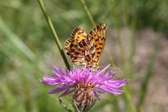 Photo: Clossiana dia      Lepidoptera Nymphalidae