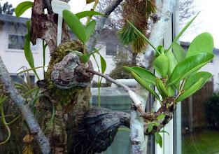 Photo: Hydnophytum formicarum (Ameisenpflanze)