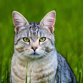 by Ralf  Harimau - Animals - Cats Portraits ( katze, hilbringen, mieze )
