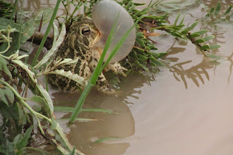 Photo: Calling toad (amazing photo by Sarah)