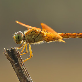 DF by Adhahuli Fahrizal - Animals Insects & Spiders ( macro, nature, wildlife, dragonfly, animal )
