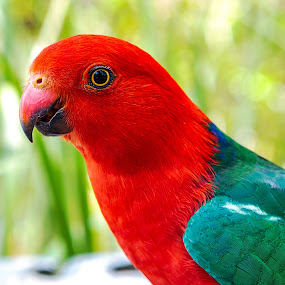 King Parrot by Dom Del - Animals Birds ( colour, bird, king parrot, color, colorful, parrot, close up, colours,  )
