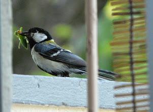 Photo: 撮影者:佐藤 シジュウカラ タイトル:巣立ち近い 観察年月日:2014年6月14日 羽数:2羽 場所:我が家のベランダ 区分:行動 メッシュ:武蔵府中3H コメント:抱卵にはかなり時間がかかったようでしたが、1日頃ヒナが誕生した模様でそろそろ巣立ちだなと思っています。お父さん・お母さんが餌運びに忙しい毎日です。