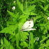 Green-veined White / Брюквенница