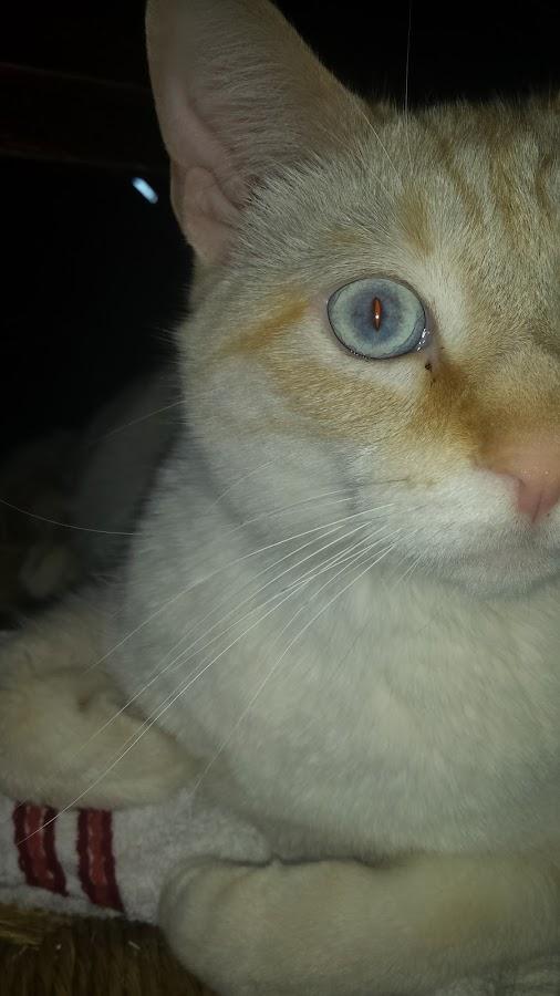 Gizmo's Eye by Rebecca Yarosis - Animals - Cats Portraits ( white cat, cat, cat eyes, animal, blue eyes )
