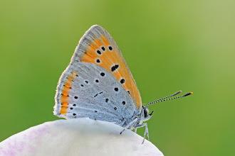 Photo: Grand cuivré / Cuivré des marais, Lycaena Dispar,  Large Copper  http://lepidoptera-butterflies.blogspot.com/