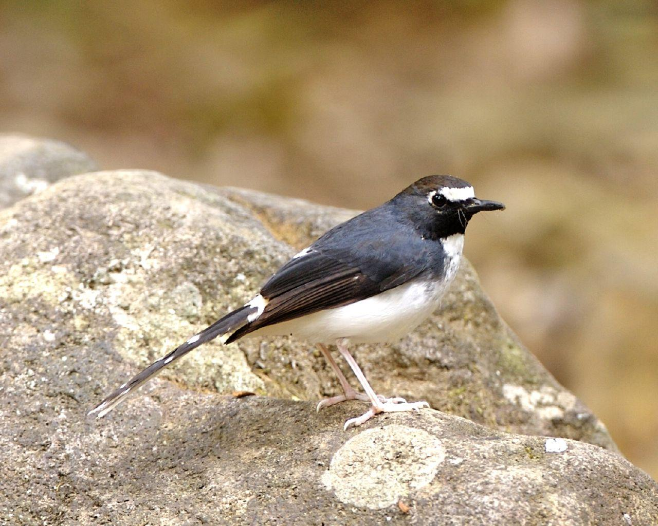 https://upload.wikimedia.org/wikipedia/commons/d/d0/Sunda_forktail.jpg