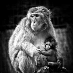 Protective arms by Diána Barócsi - Animals Other Mammals ( mother, wildlife, baby, monkey, japanese macaque,  )