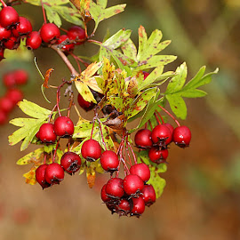 Ripe Berries by Chrissie Barrow - Nature Up Close Other Natural Objects ( fruit, red, nature, autumn, green, hawthorn, leaves, bokeh, closeup, berries,  )