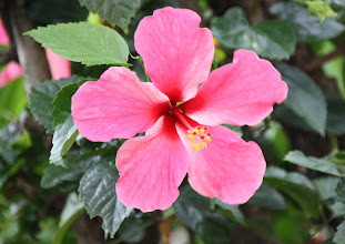 Photo: Year 2 Day 108 -  Hibiscus in the City