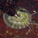 Tortoiseshell Limpet