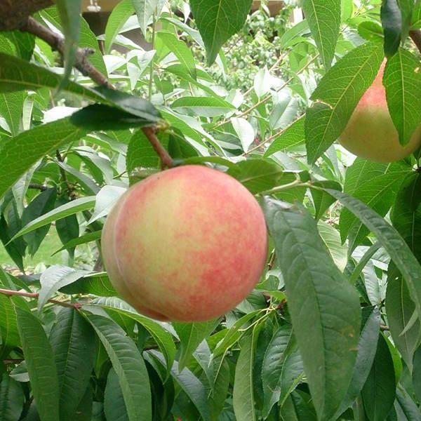 熱賣商品 梨山水蜜桃 好吃到停不了口!