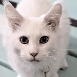 by Linda    L Tatler - Animals - Cats Portraits