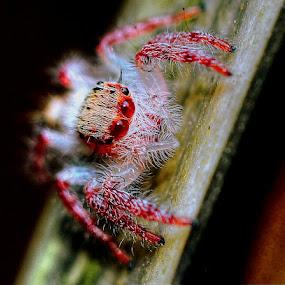 Jumping spider by Syafriadi S Yatim - Animals Other