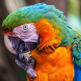 macaw by Peter Schoeman - Animals Birds ( grooming, cleaning, macaw's, parrots, birds,  )