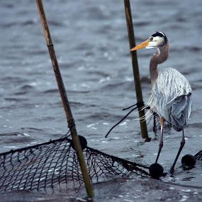 Blue Heron by Glen Fortner - Animals Birds ( cold, eastern shore, maryland, heron, blackwater wildlife refuge )