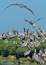 Photo: 135. I have seen brown pelicans many times on trips, but I have sure never seen anywhere near this many congregated in one spot ... quite a treat to observe some of their behaviors up close.