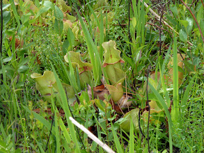 Photo: Sarracenia purpurea at Splinter Hill Bog Preserve in Alabama.