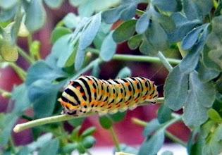 """Photo: La chenille de """"Papilio machaon"""" (Grand-porte-queue) sur un rameau de rue fétide """"Ruta graveolens"""". La sève de cette plante rend plus toxique son osmeterium (corne) de défense par dissuasion que celle du fenouil."""