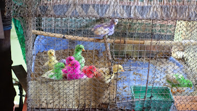 Photo: Colored chicks