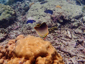 Photo: Chaetodon baronessa (Eastern Triangular Butterflyfish), Miniloc Island Resort reef, Palawan, Philippines.