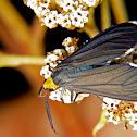 Erebidae moth