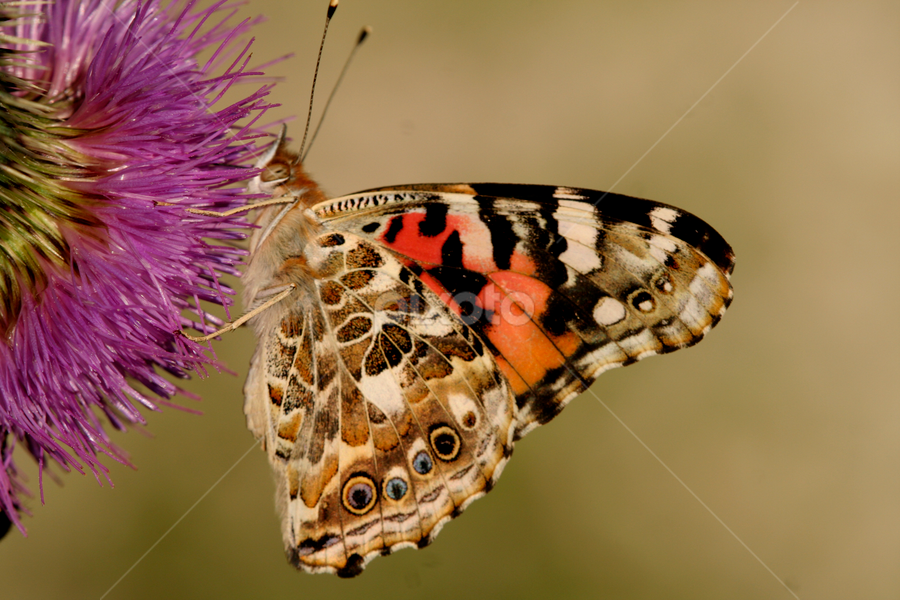 Painted Lady Butterfly by Greg VandeLeest - Animals Insects & Spiders ( pwcinsectsandspiders, butterfly, thistle, nectar, feeding )