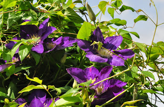 Photo: Clematis 'Lady Betty Balfour'