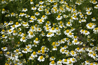 Photo: German chamomile. Photo credit Log House Plants