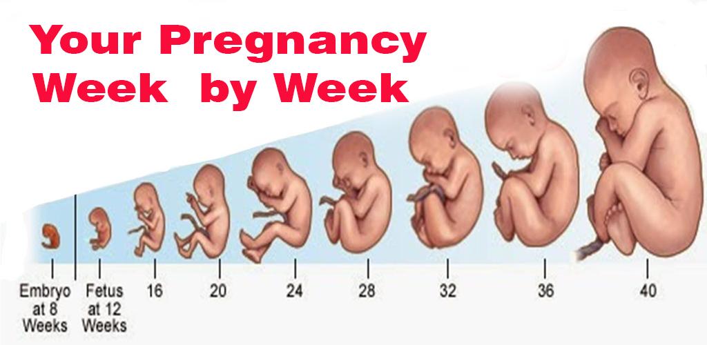 By week week pregnancy Pregnancy Week