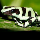 Poison Dart Frog - Green and Black