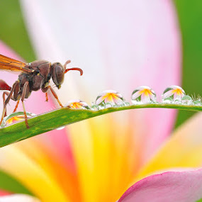 Morning Beauty  by Sulistyo Aji - Uncategorized All Uncategorized ( wasp, bee, colorful, dew, morning, insect, macro, nature, sigma, indonesia, bug, nikon, flower )