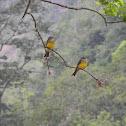 pitogüé - tropical kingbird