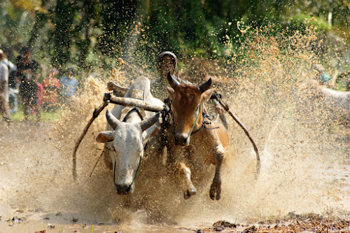 cow racer by Andika Putra - News & Events World Events ( cow, race, culture )