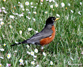 Photo: (Year 2) Day 333 -  One of the Many Robins at the Campsite