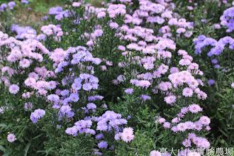 Photo: 拍攝地點: 梅峰-溫帶花卉區 拍攝植物: 紫孔雀(紫苑) 拍攝日期: 2014_07_27_FY