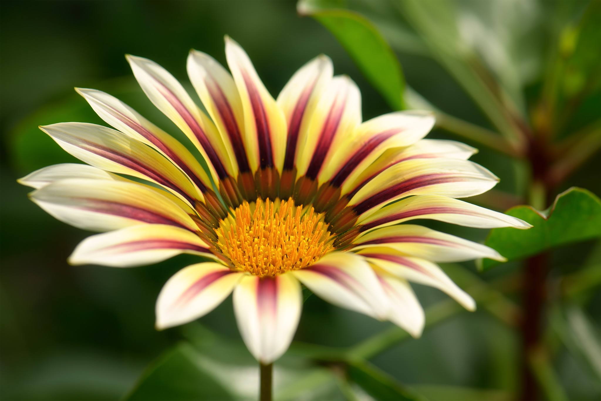 Photo: Another Gazania photo~ I am still off from work (I could really get used to being on vacation ;) Aside from spending time with visiting family, it also gives me some time to go through my photos :)  #Flowerphotography  #Nature  #Flora  #Gazania