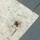 Spotted Camel Cricket