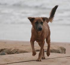 Photo: Pipo l'un des chiens du Busua Inn, westcoast, Busua Beach, Ghana