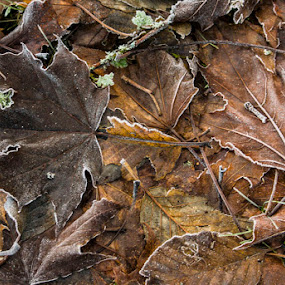 Frosted leaves by Marie Browning - Nature Up Close Leaves & Grasses ( frpst, fall, brown, leaf, maple,  )