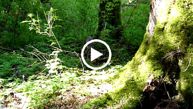 Video: Barred Owl hunting close to the ground.