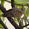 Oriental turtle dove or rufous turtle dove