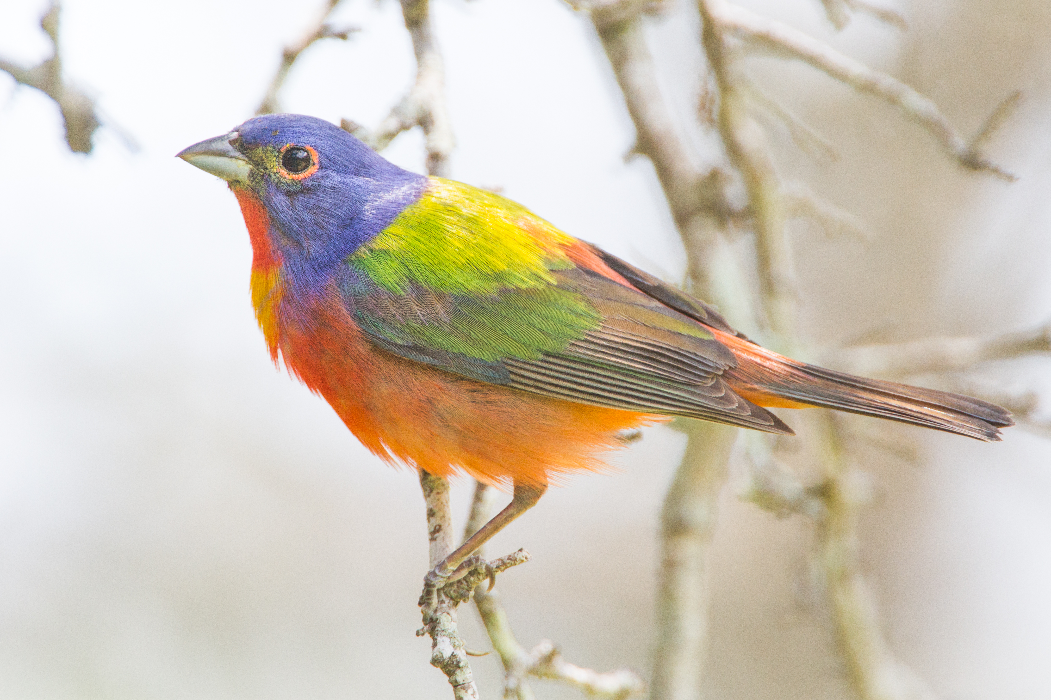 Photo: Painted Bunting