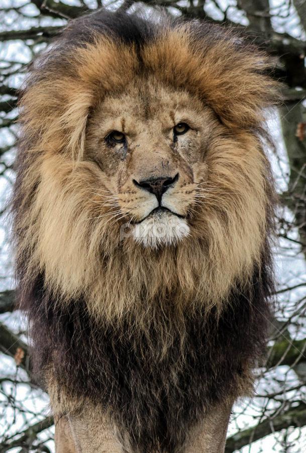 Watching you by Garry Chisholm - Animals Lions, Tigers & Big Cats ( garry chisholm, predator, lion, carnivore, nature, wildlife )