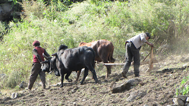 Photo: Ploughing with ox in the lower Tsum (Rainjam).