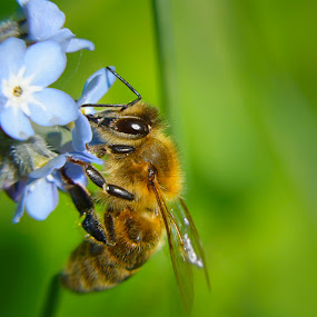 bee by Joseph Balson - Animals Insects & Spiders ( macro, bee, pollination, insect, flower,  )