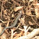 Northern Redback Salamander