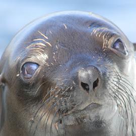 Sea Lion by Louisa Botha - Animals Sea Creatures ( water, sea lion, sea, closeup, animal,  )