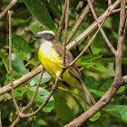 Bentevizinho-de-penacho-vermelho(Social Flycatcher)
