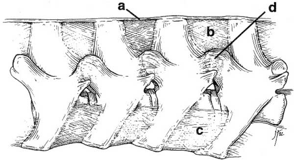 Extrinsic spinal ligaments